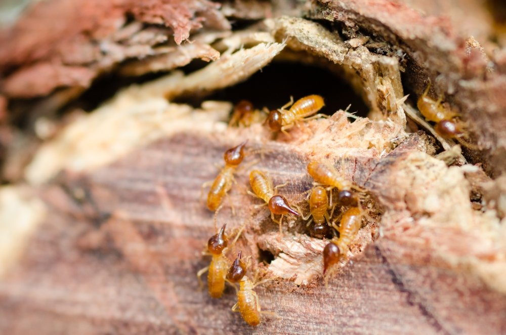 Termite Inspection, Pest Inspection, Pest Solutions, Excel Pest Solutions, Pest control